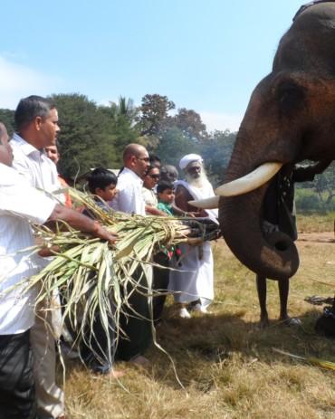 Elephant is fed with sugarcane